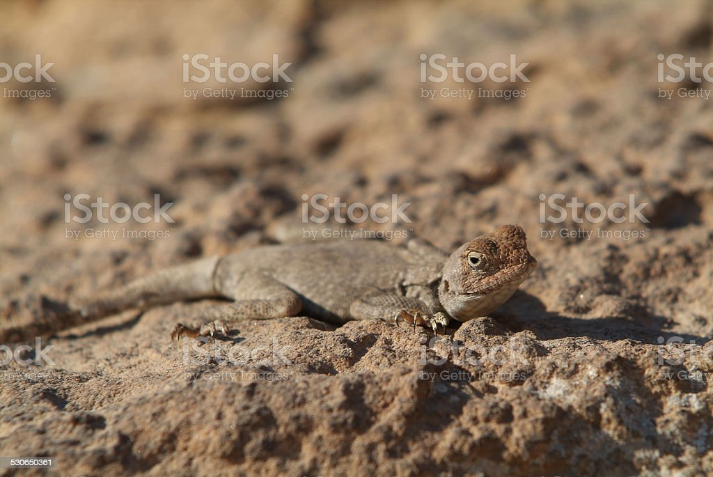 Lizard-Wadi Dana-National park stock photo