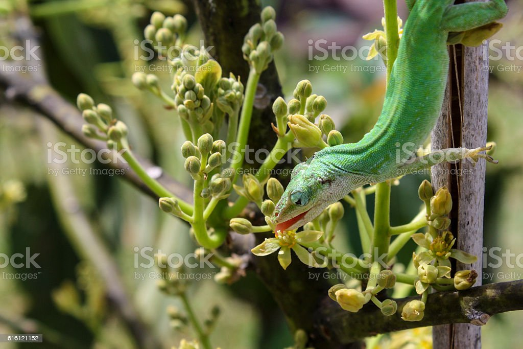 Lizzard Licking Nectar stock photo