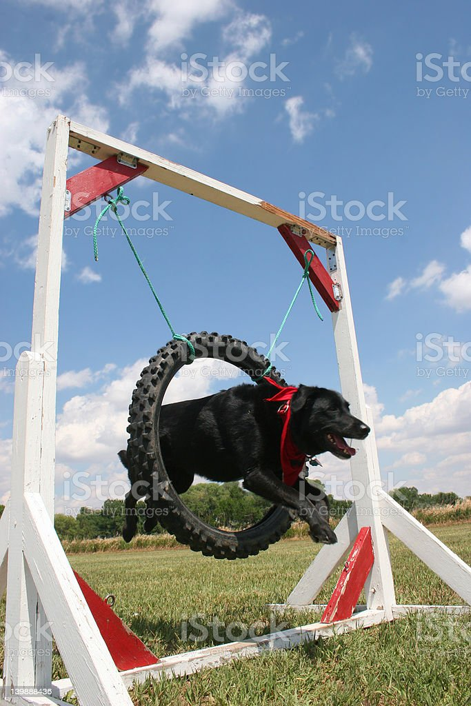 I'll Jump Through Hoops! (Flying Dog) royalty-free stock photo