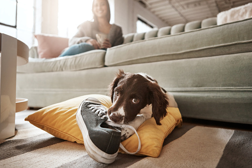 Shot of an adorable dog playing with his owner's shoe