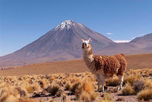 istock Llama (Lama glama) a high altitude Camelid from South America