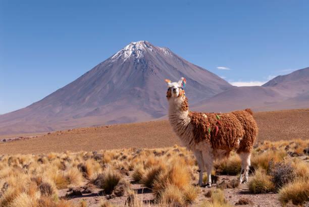 "lama (lama glama) höhenlage kameliden aus südamerika ""n - lama kamelartige stock-fotos und bilder"