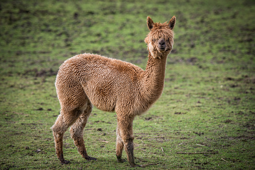 Fluffy young Alpaca standing on the meadow