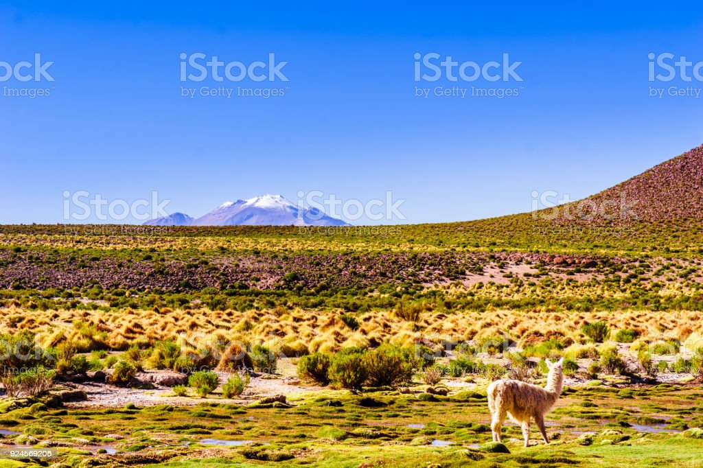 Llama and volcano Lascar in the Altiplano of Bolivia stock photo