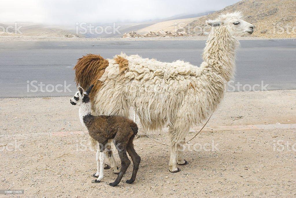 Arreo de Llama y jóvenes - foto de stock