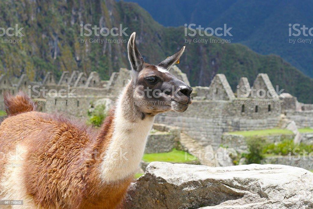 Llama at Machu Picchu Inca Ruins royalty-free stock photo