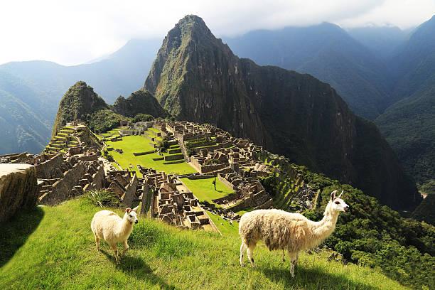 lama im machu picchu, peru - lama kamelartige stock-fotos und bilder
