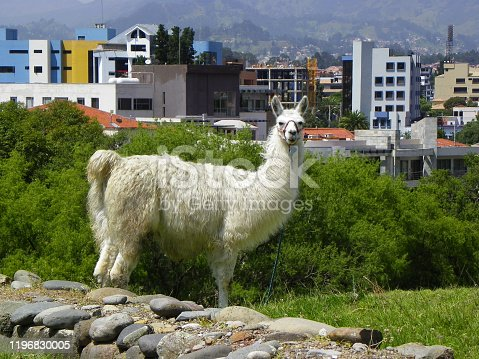 Llama at the archaeological garden, view at city and Inca ruins from the archeological complex Pumapungo in Cuenca city, Ecuador
