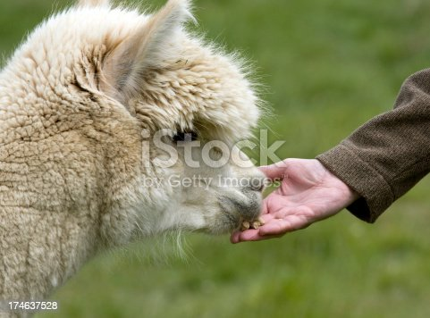 A llama being hand bed