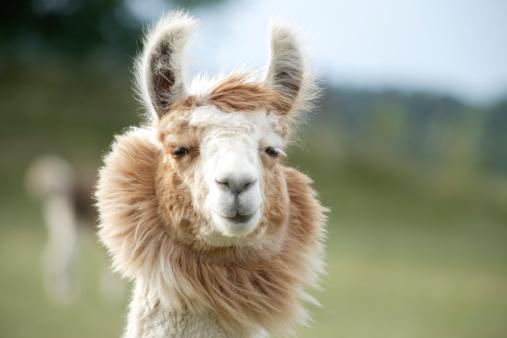 A cute llama staring in my camera.