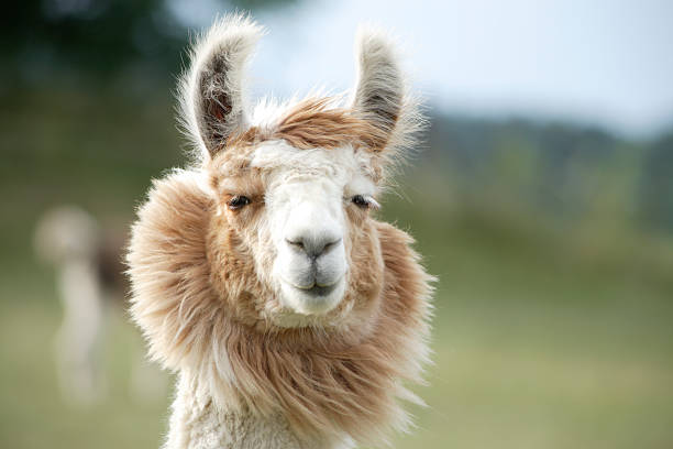 lama-nahaufnahme - lama kamelartige stock-fotos und bilder