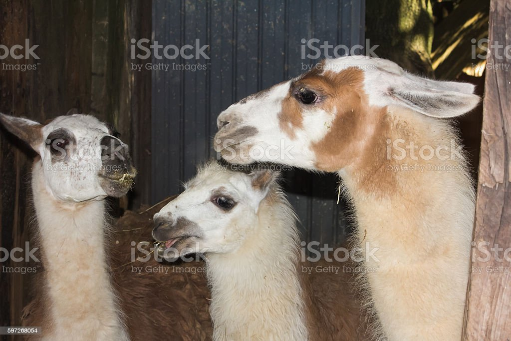 Llama family eating hay royalty-free stock photo