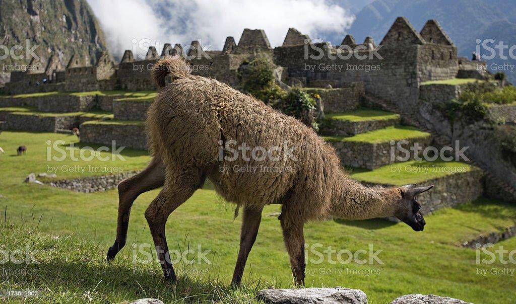 Llama grazing at Maccu Picchu stock photo