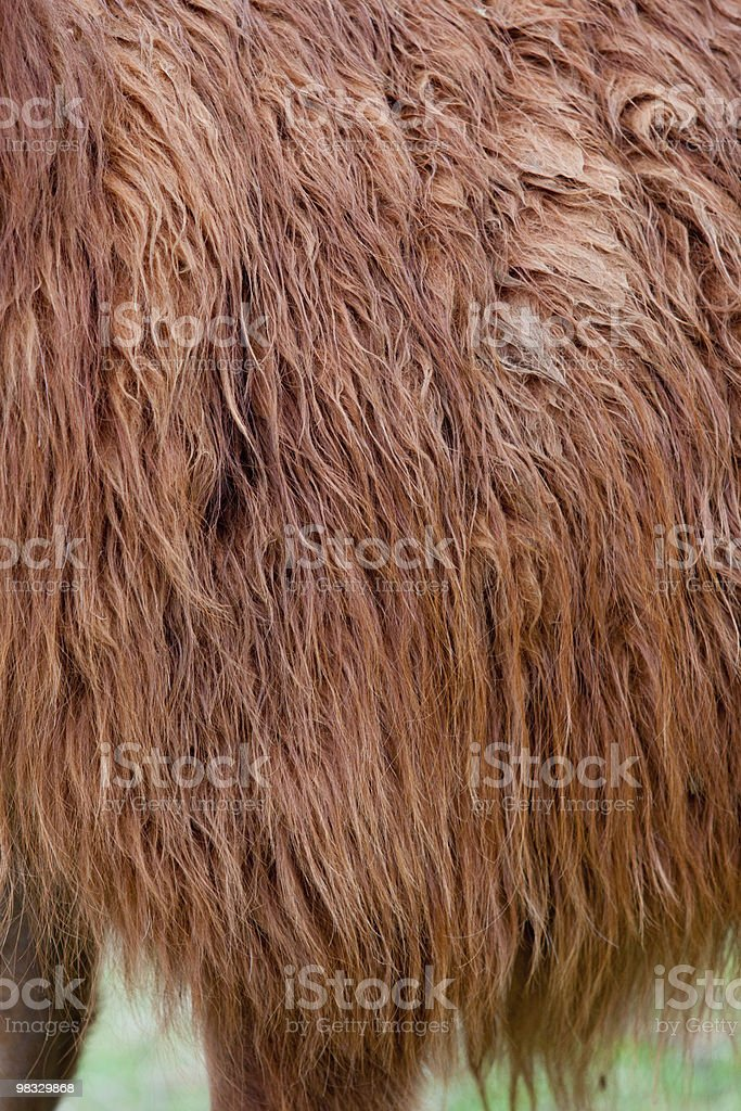 Llama Hair royalty-free stock photo