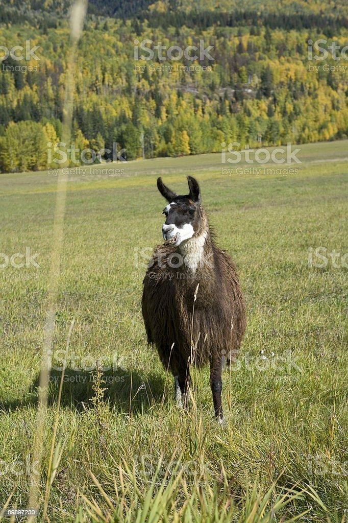 Lama habe so einen interessanten Look Lizenzfreies stock-foto