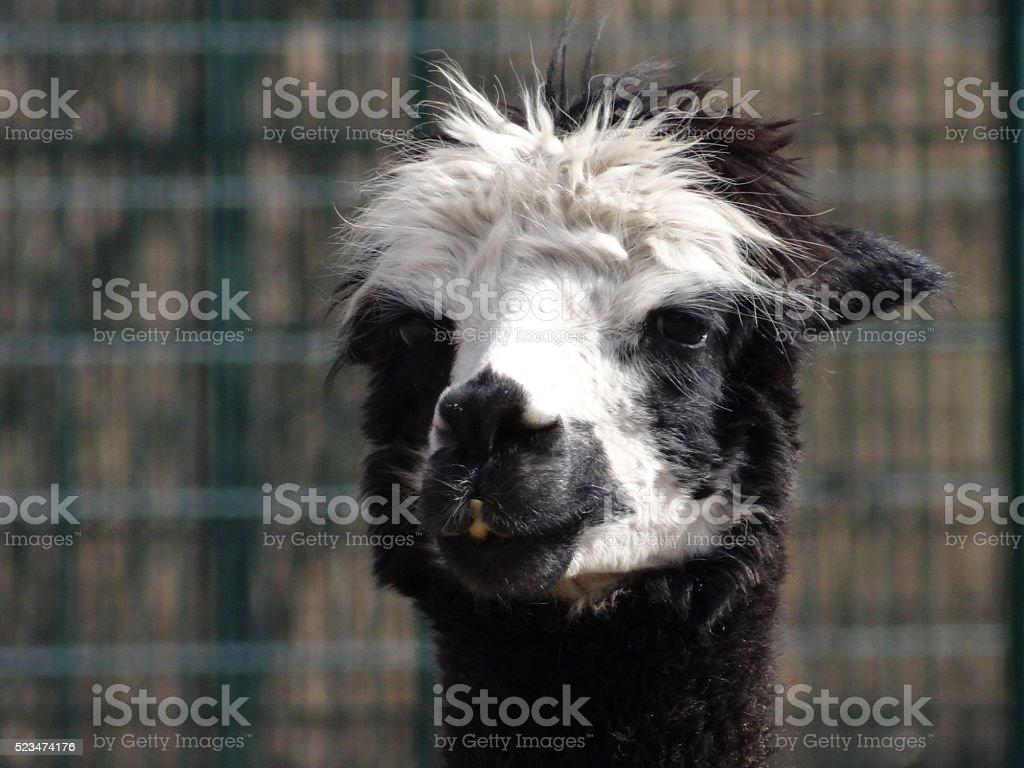 Llama head stock photo