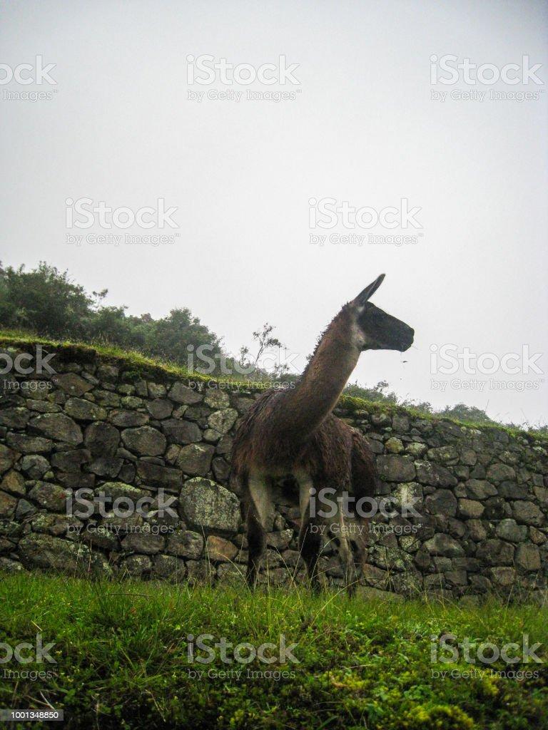Llama En Una Terraza De Cultivo En Machu Picchu Perú América
