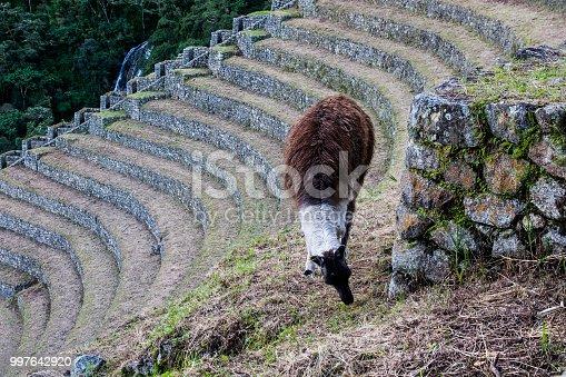 ᐈ Imagen De Llama En Una Terraza De Cultivo En El Camino