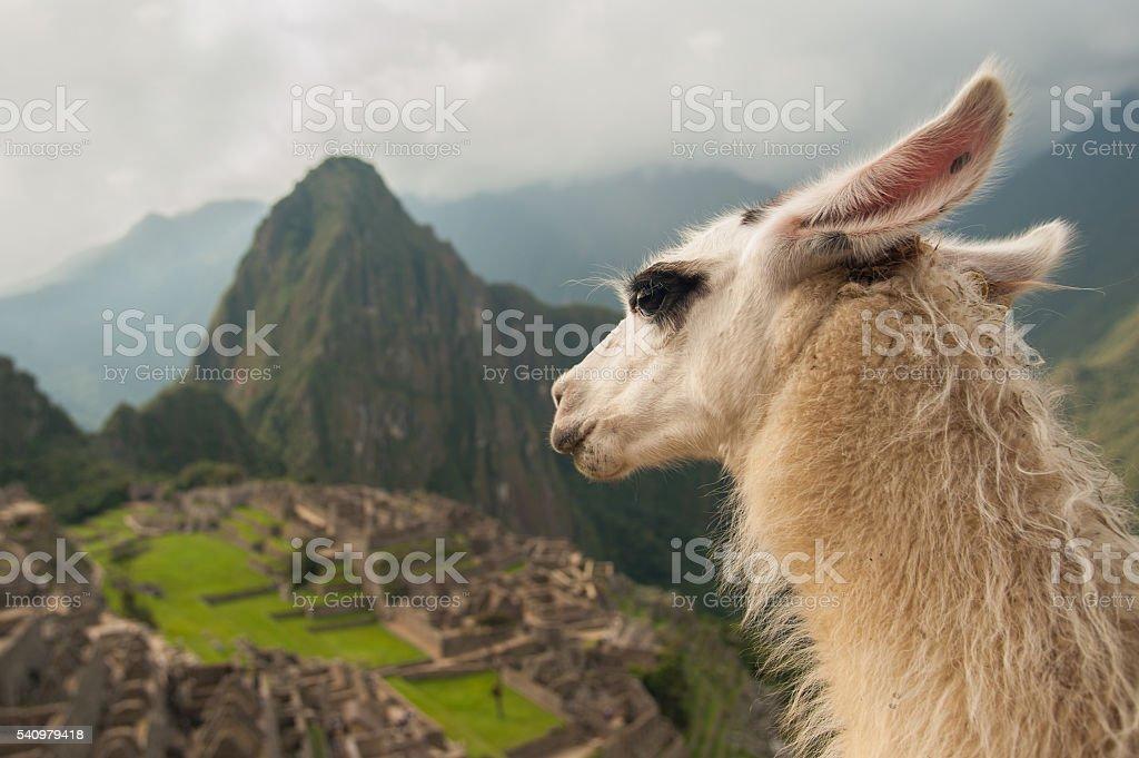 Llama in ancient city of Machu Picchu, Peru stock photo