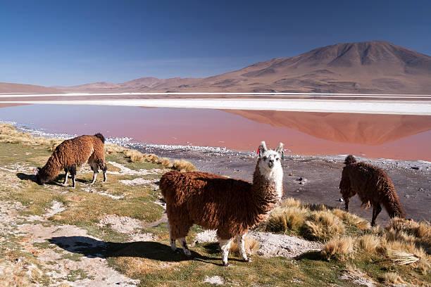 llama in laguna colorada, bolivia - 阿爾蒂普拉諾山脈 個照片及圖片檔