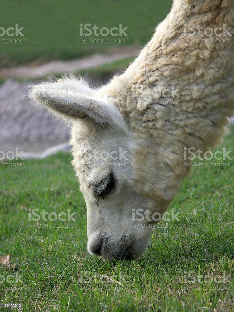 Lama in Peru Lizenzfreies stock-foto