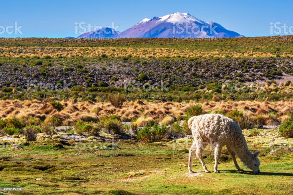 Llama in the mountain landscape of the Altiplano in Bolivia stock photo