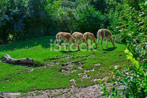 four llama animals in the forest grazing, animals in the wilderness.