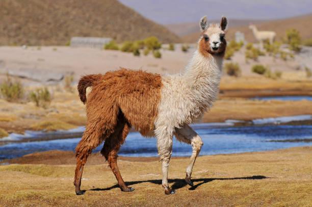 lama (lama glama) in der nähe der laguna colorada, bolivien. - lama kamelartige stock-fotos und bilder