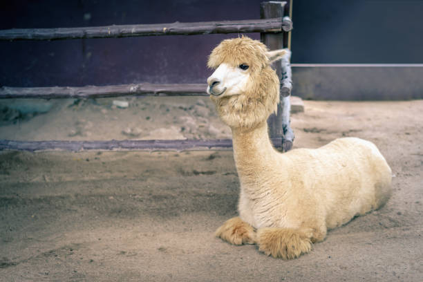 Llama or Alpaca (Vicugna pacos), Photograph of a  full body light brown and white alpaca stock photo