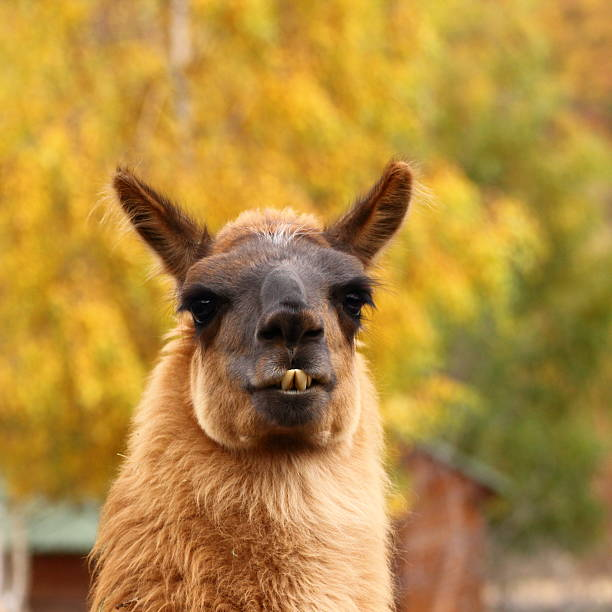 Royalty Free Ugly Llama Pictures, Images And Stock Photos