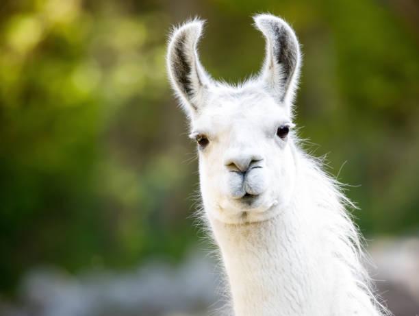 lama - lama kamelartige stock-fotos und bilder