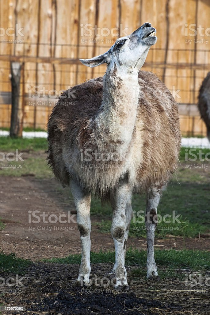 Llama (lama glama) royalty-free stock photo