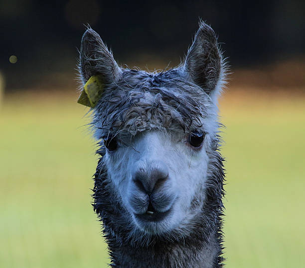 Best Ugly Llama Stock Photos, Pictures & Royalty-Free