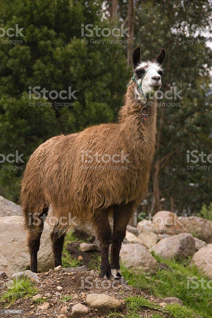 Llama royalty-free stock photo