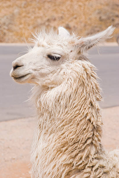 Llama Portrait stock photo