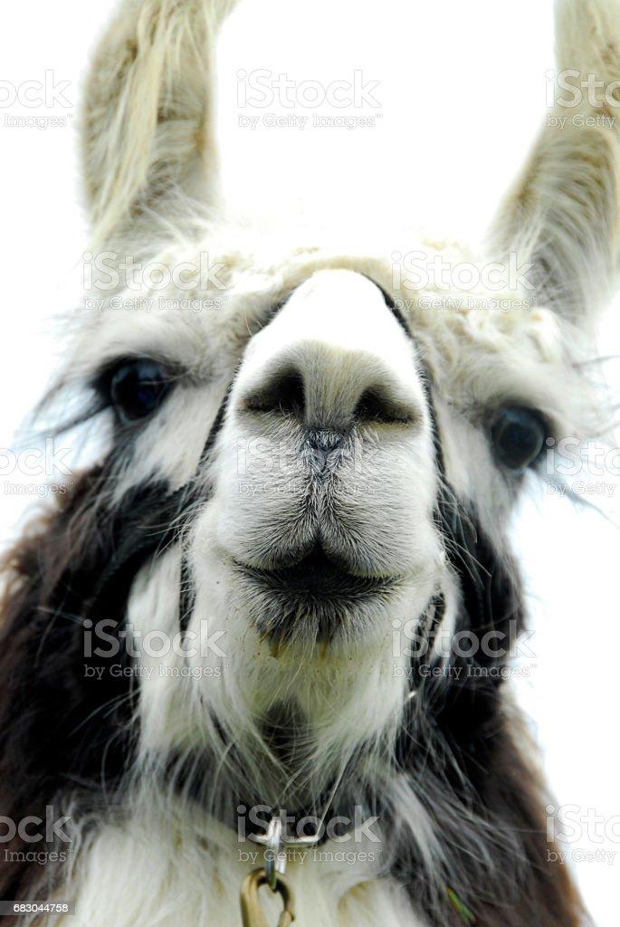 Llama Portrait foto de stock royalty-free