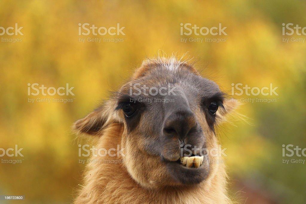 llama showing its teeht stock photo