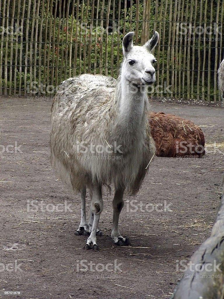 Lama in piedi foto stock royalty-free