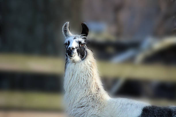 llama stares down photographer - pam schodt stock photos and pictures