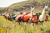 Hikers lead a herd of llama pack animals through the mountains on the Continental Divide Trail, San Juan National Forest, Weminuche Wilderness, Rocky Mountains, Silverton, CO, USA