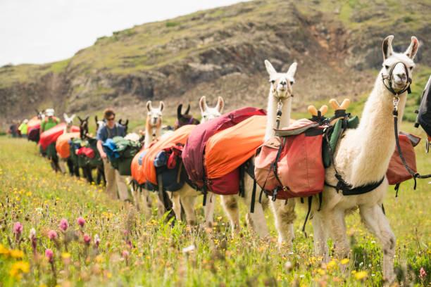 lama-zug und wanderer zu fuß durch wiese im san-juan-gebirge - lama kamelartige stock-fotos und bilder