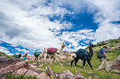 A man in his 20's leads a trio of llamas and several hikers trek along a dirt trail  above tree line in the San Juan Mountains on a cloudy summer day, Weminuche Wilderness, Rocky Mountains, Colorado, USA