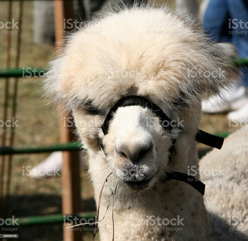 Llama-alpaca royalty-free stock photo