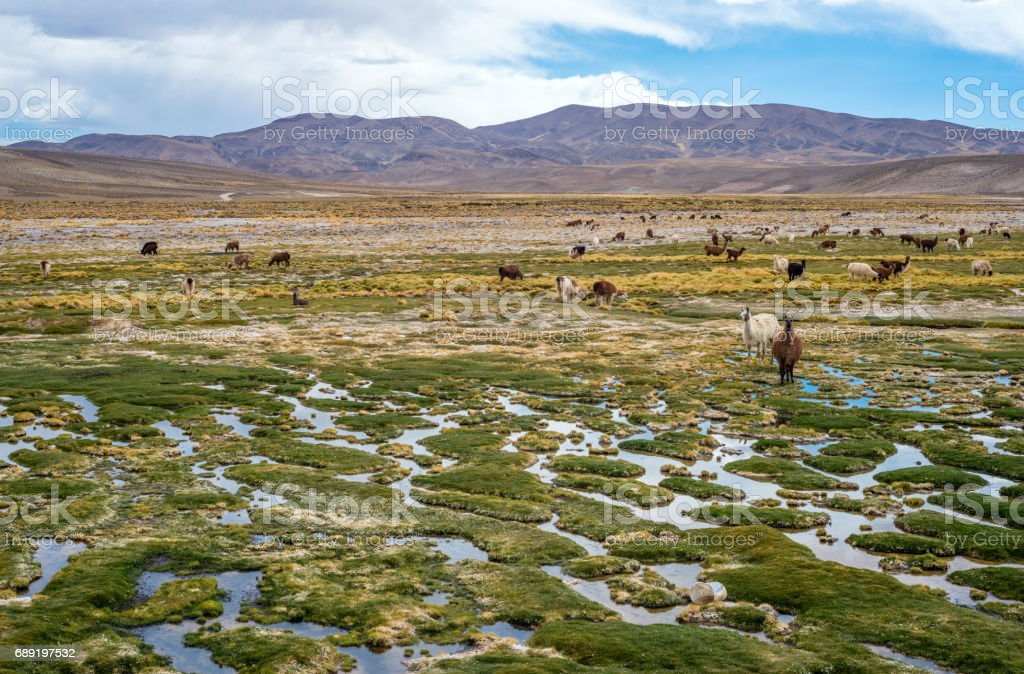 Llamas and alpacas graze in the mountains near Paso de Jama, Argentina-Chile stock photo