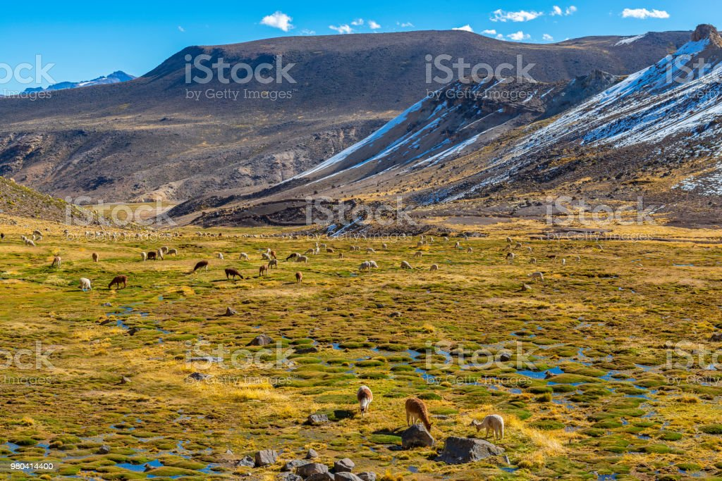 Llamas and Alpacas grazing in Peru stock photo