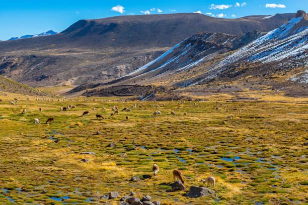 Llamas and Alpacas grazing in Peru stock photo