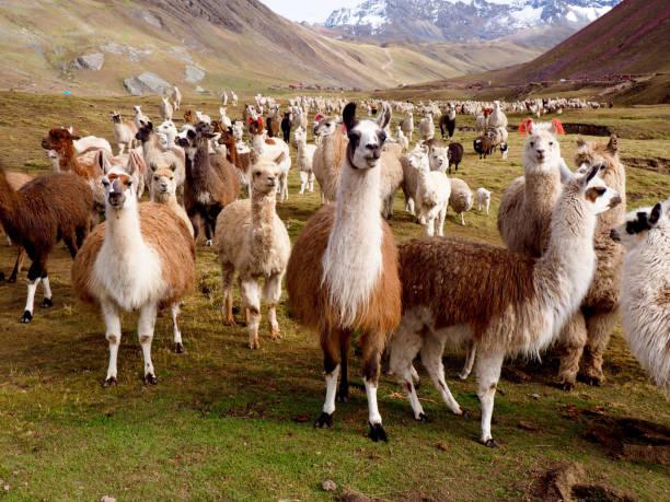 lamas und alpakas von peru - lama kamelartige stock-fotos und bilder