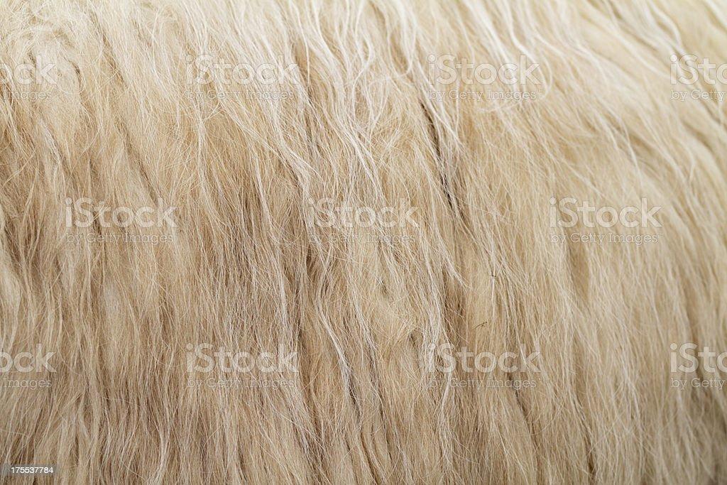 Flank of llama Lama glama flowing fleece stock photo