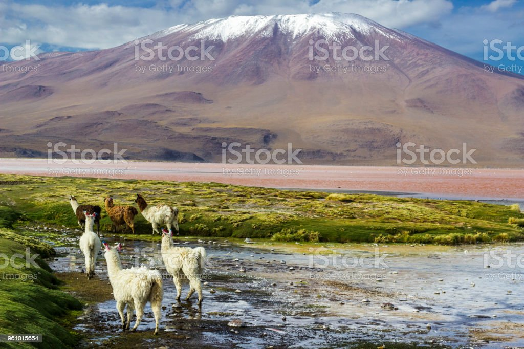 Llamas at Colorada Lagoon, Bolivia - Royalty-free Altiplano Stock Photo