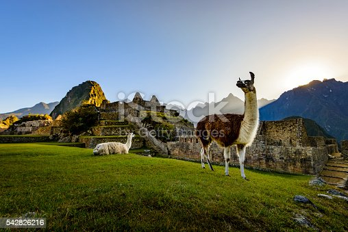 Llamas resting on a terrace during the first light on the ruins of the Incan city of Machu Picchu, Peru.